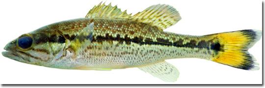 Basschoctaw